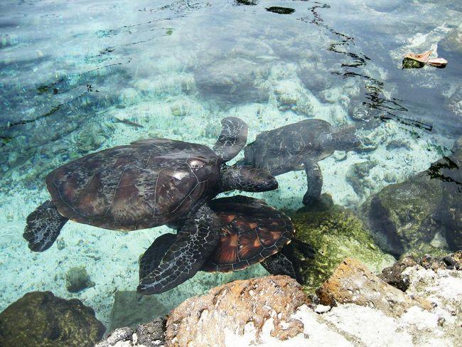 Savai'i, Samoa. Islandlife Oceania Village Life Animal Photography Sealove LovePolynesia Samoa  Turtle Love Seaturtles