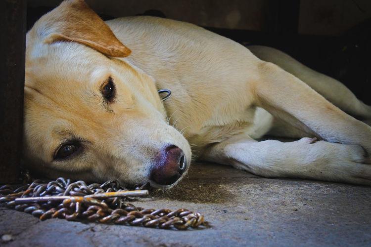 Pets Dog Lying