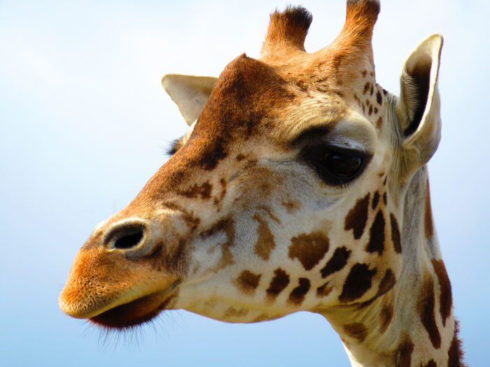 Animal Body Part Animal Eye Animal Head  Animal Markings Animal Themes Close-up Day Focus On Foreground Giraffe Herbivorous Mammal Nature No People Outdoors Part Of Portrait Sky Wildlands  Zoo