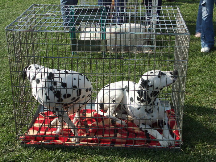 High Angle View Of Dalmatian In Cage On Grassy Field