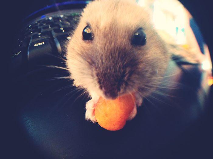 Hamster Cute Pets Shelma Fisheye Pet Pet Photography