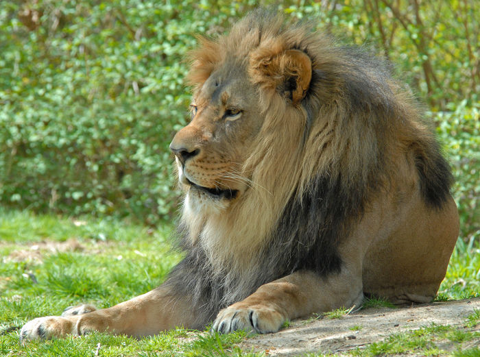 Close-up of lion relaxing on grass
