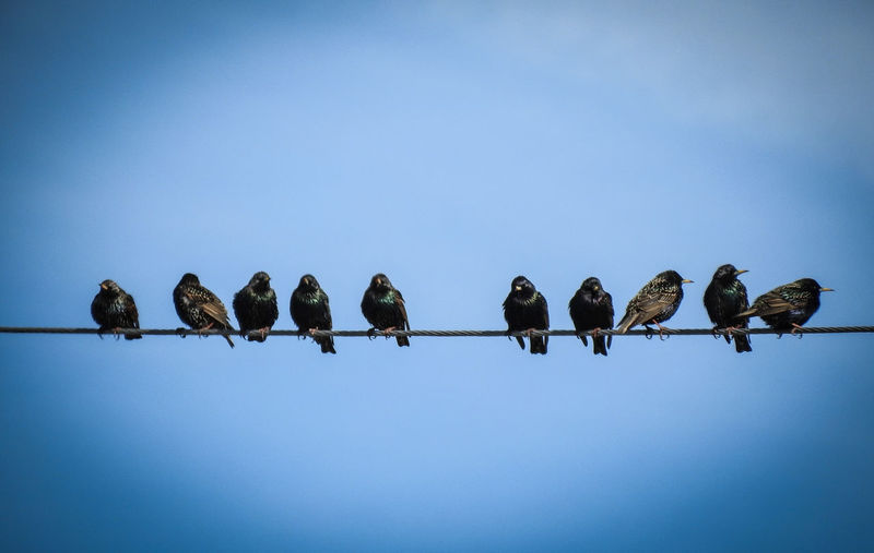 Low angle view of birds perching on steel cable against clear blue sky