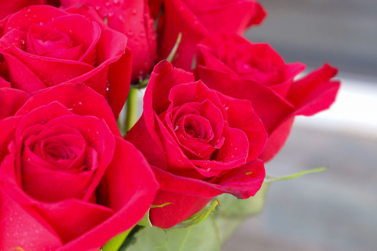 Close up of red roses. Background; Beauty; Bloom; Blooming; Blossom; Botany; Bouquet; Bright; Bunch; Celebration; Ceremonial; Closeup; Color; Darling; Day; Decoration; February; Festive; Flora; Floral; Flower; Fragrance; Freshness; Garden; Gift; Greeting; Head; Holiday; Image;