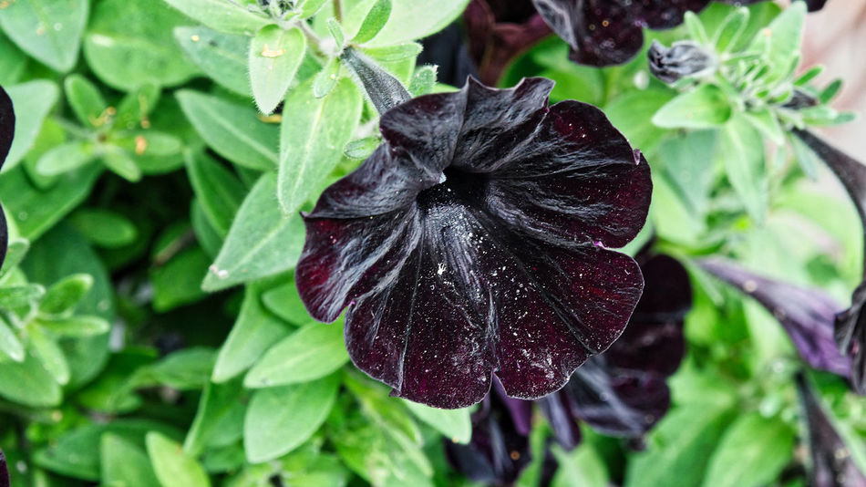 Beauty In Nature Black Velvet    Blooming Close-up Day EyeEm Nature Lover Flower Flower Head Fragility Freshness Green Color Growth Leaf Nature No People Outdoors Panther-Petunie Petunia Plant Wet
