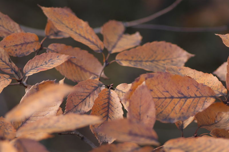 Winter in Japan. Leaf Plant Part Change Autumn Close-up Leaves Dry Nature Selective Focus No People Day Plant Leaf Vein Beauty In Nature Outdoors Brown Orange Color Sunlight Natural Pattern Focus On Foreground Maple Leaf Fall Natural Condition Autumn Collection Dried