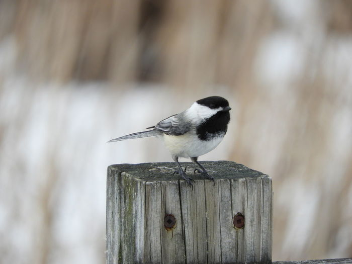 Black Capped Chickadee Black Capped Chicadee Perching Chicadee Photography Chicadee On A Post Bird Watching Birds Wildlife Wildlife Photography Birds In The Wild Birds Of EyeEm  Nature Calm Tranquility Tranquil Scene Outdoors Beauty In Nature Nature Photography Bird Photography Bird Perching Songbird  Wooden Post Animal Themes Close-up Tranquil Scene