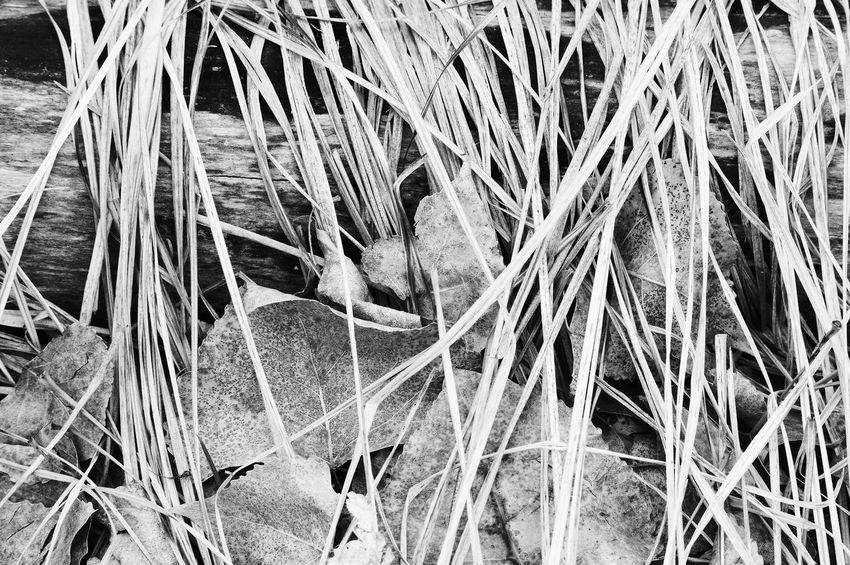 Dead grass covering leaves Lingle Wyoming Black And White Close-up Day Dry Grass Leaves Outdoors