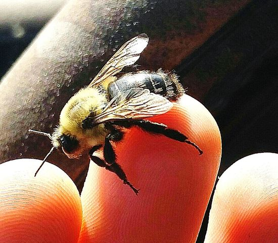 Worker Honey Honey Bee One Animal Landed Landed Safely Harmless Love Close-up Personal Perspective Beauty In Nature Beautiful Workerbee Worker Bumblebee Bumble Bee Bumble Bee 🐝 Buzz
