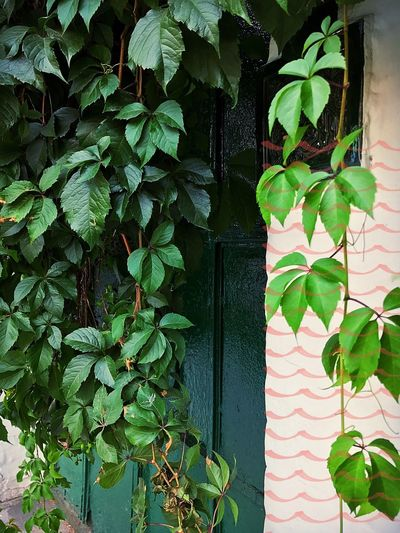 // That green door // Mood Of The Day Flowerpower Natural Pattern Life In Motion City View  City Street Urban Lifestyle Urban Architecture Lifestyle White Wall Open The Door Doors Green Door Leaf Plant Part Plant Growth Green Color Nature No People Day Beauty In Nature Architecture Outdoors Built Structure Wall - Building Feature Freshness Creeper Plant Building Exterior