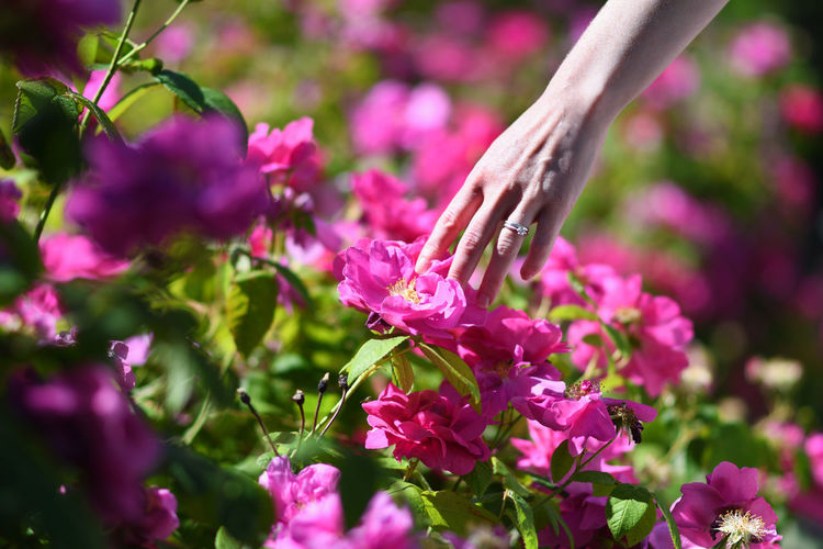 Flower Flowering Plant Plant Human Hand Freshness Hand Beauty In Nature One Person Human Body Part Close-up Pink Color Petal Selective Focus Nature Growth Day Adult Outdoors Purple Flower Head Springtime Finger Gardening Summer Scotland