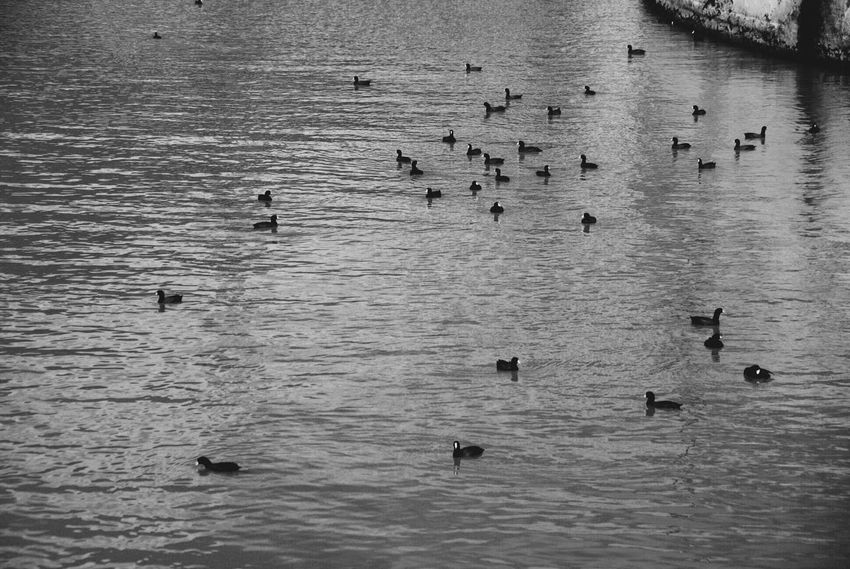 Animal Themes Animals In The Wild Beauty In Nature Bird Day Lake Large Group Of Animals Nature Outdoors Water Waterfront