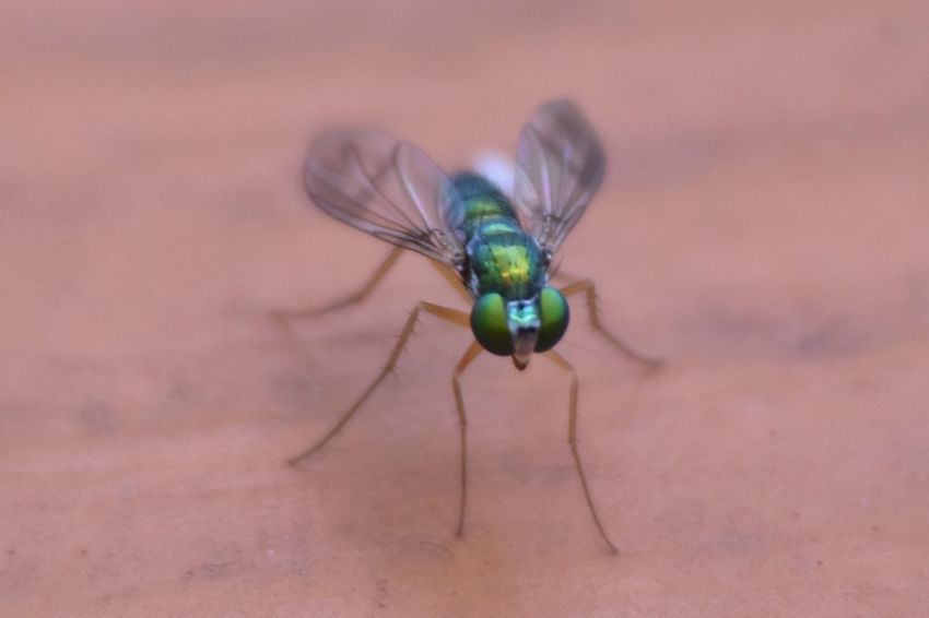 Insect Animal Themes Animals In The Wild One Animal Close-up Day Animal Wildlife No People Nature Outdoors Green Green Fly Fly Insect Photography Insect Macro  Insects  Bug Condylostylus Sipho Long Legged Fly Condylostylus