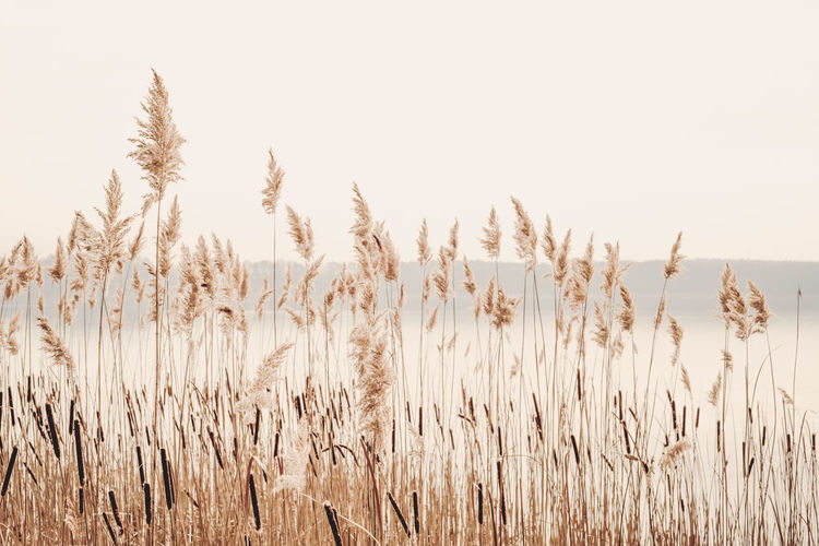 Grass Wheat Beauty In Nature Calm Water Clear Sky Day Golden Hour Growth Lake View Nature No People Outdoors Plant Reed Reed - Grass Family Reeds Scenics Sky Tranquil Scene Tranquility Water