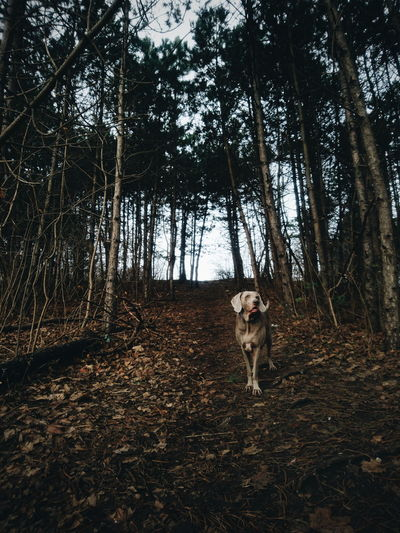 me and Bruno the #weimaraner wish you a happy new year :) Beauty In Nature EyeEm Best Shots EyeEm Best Edits EyeEm Nature Lover Minimalism Winter Weimaraner Dogs Animal Forest Pets Dog One Animal Domestic Animals Animal Themes Tree Mammal Outdoors Day Portrait Nature