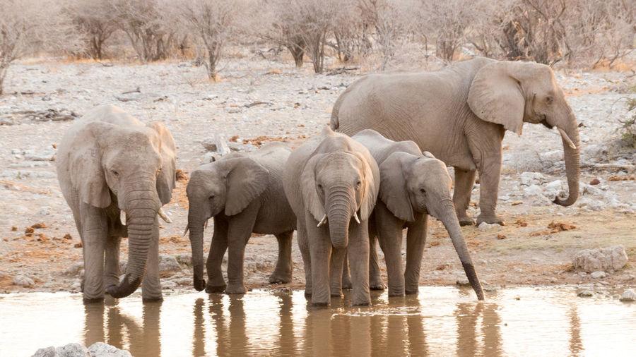 Elephants at Waterhole in Etosha National Park, Namibia Animal Animal Themes Animals In The Wild Elephant Elephants Full Length Herbivorous Mammal Outdoors Water Waterhole Wildlife Wildlife & Nature Wildlife Photography Zoology