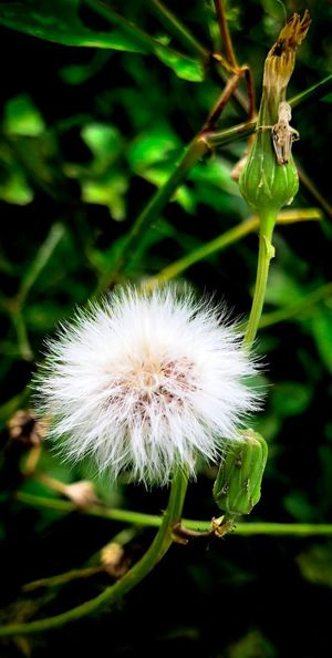 Flower Fragility Flowering Plant Plant Vulnerability  Close-up Beauty In Nature Freshness Flower Head Dandelion Insect Invertebrate Nature Dandelion Seed