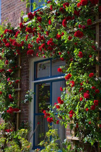 Red flowering plants against building