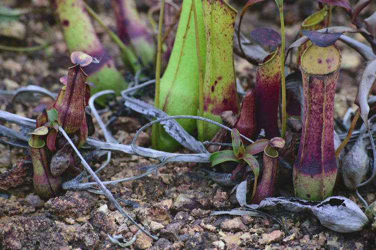 Kantong Semar Pitcherplant Pitcher Plant Pitcher Plants Nephentes Naturelover Naturelovers Freshness Close-up Nature Growth Plant Leaf Beauty In Nature Nature Photography Nature_collection Insect Naturetheme Survival Nature Day Outdoors No People Green Color Themes