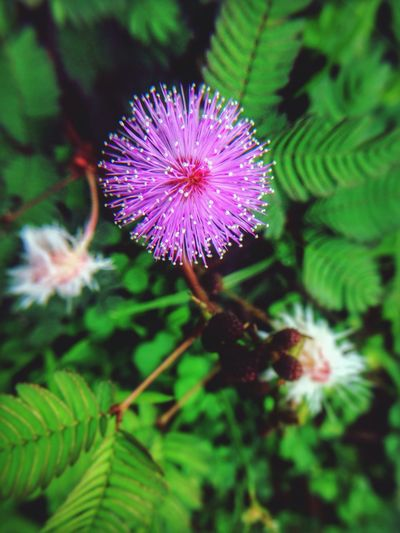 Mimosa Flowers Pink Color Pink Flowers Thorns And Beauty Herbaceous Plant Roadside Commonly Beautiful Freshness Close-up Beauty In Nature Selective Focus Single Flower Botany EyeEm Nature Lover EyeEm Flower EyeEm Best Edits Iphoneonly Olloclip Macro Beauty Snapseed
