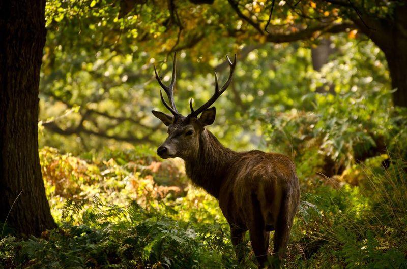 Hi Deer Deer Stag