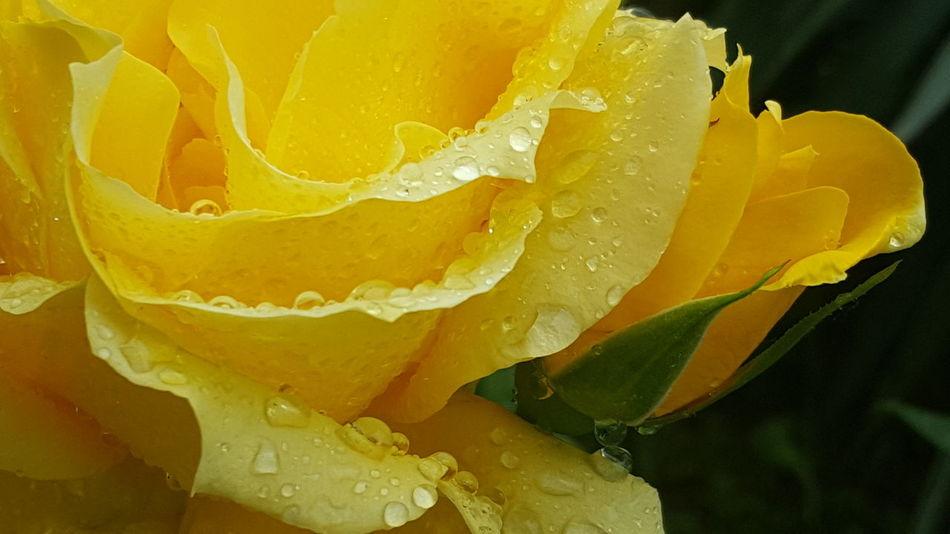 Eye Em Nature Lover Rainymorning Macro Yellow Roses Rosa Rosa Garden Raindropshot Drops Of Rain Yellow Flower Nature Freshness Day No People No Filter