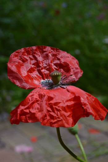 Flowers Flowers, Nature And Beauty Flower Photography Flowers,Plants & Garden Flowerphotography Beauty In Nature Nature Red Flower RedFlower Redflowers Nature Photography Poppies  Poppy Flowers Poppy Flower Wildflower Flower Flower Head Poppy Red Outdoor Pursuit Pink Color Leaf Plant