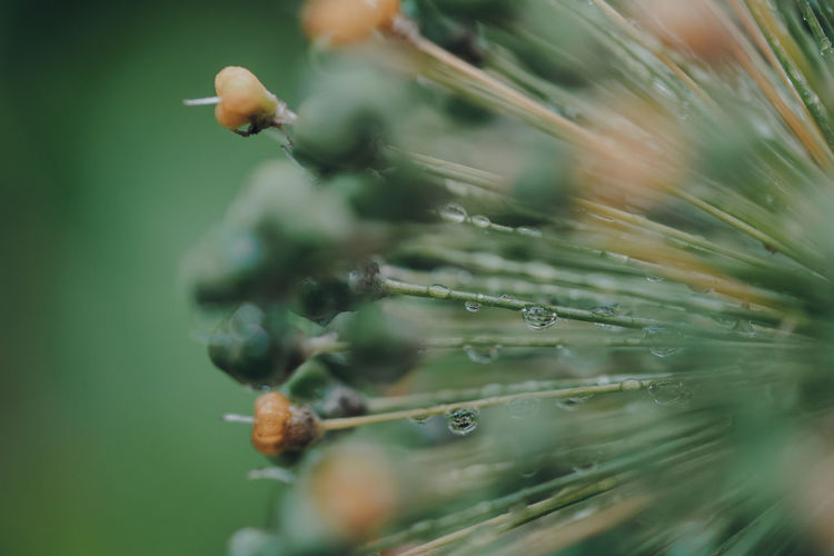 Macro shot of water droplets on a green and yellow plant, shallow selective focus.