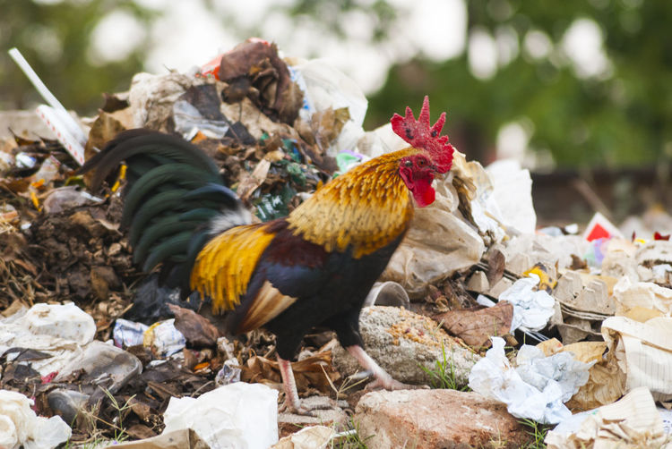 Rooster walking on landfill