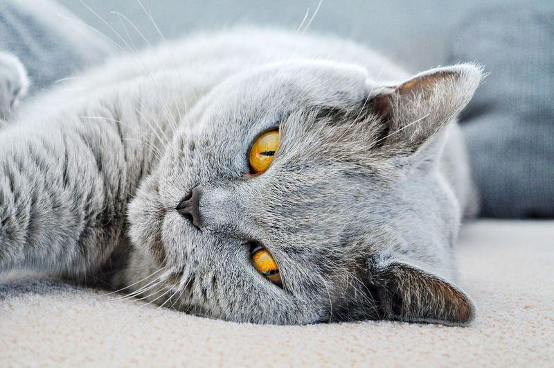 Close-up portrait of cat resting on sofa