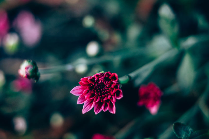 Backgrounds Beauty In Nature Blooming Close-up Copy Space Day Deep Pink Flower Flower Head Focus On Foreground Fragility Freshness Gardening Growth Malaysian Mums Nature Outdoors Petal Plant Red Shrubs