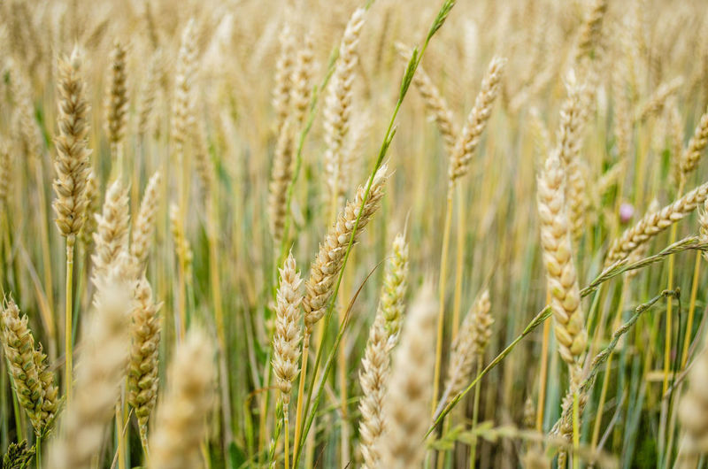 Wheat Cereal Plant Rural Scene Ear Of Wheat Rye - Grain Backgrounds Agriculture Summer Field Wholegrain EyeEmNewHere