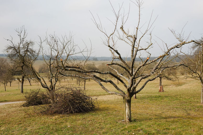 Tall Growing Fruit Trees Apple Trees Garden Branches Twigs Apple Tree Pruning Branch No People Orchard Cultivation Pruned Branches Standard Fruit Garden Tree Winter Season