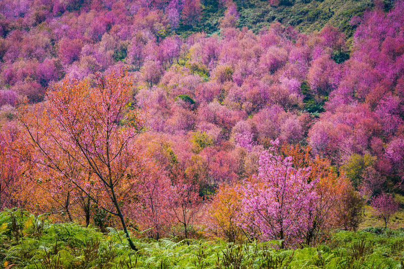 wild himalayan cherry blooming/pink tree of cherry blossom or sakura flower- landscape mountain hill of wild himalayan cherry blooming on hill in winter at Phu Lom Lo Loei and Phitsanulok of Thailand Background Beautiful Beauty Bloom Blooming Blossom Blossoming  Blossoms  Blue Branch Cherry Color Colorful Fairytale  Fantasy Flora Floral Flower Forest Fresh Garden Green Landscape Light Lo Lom Mountain National Natural Nature Outdoor Park Phu Phu Lom Lo Pink Plant Prunus Sakura Season  Sky Spring Summer Sunrise Thailand Travel Tree Trees White Wild Winter