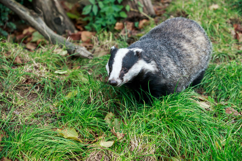 The European badger (Meles meles) also known as the Eurasian badger or simply badger, is a species of badger in the family Mustelidae and is native to almost all of Europe and some parts of West Asia. European  Nature Photography Wildlife & Nature Wildlife Photography Animal Animal Photography Animal Themes Animal Wildlife Animals In The Wild Badger Close-up Day Eurasian Europe Grass Mammal Meles Meles Mustelidae Nature No People One Animal Outdoors Uk Wild Wildlife