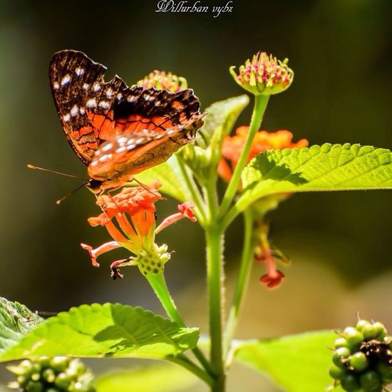 Westindies_pictures Photography TheWeekOnEyeEM Beautiful Nikon Fwi Caribbean Nature Fleur Flower Papillon Urbanvybz