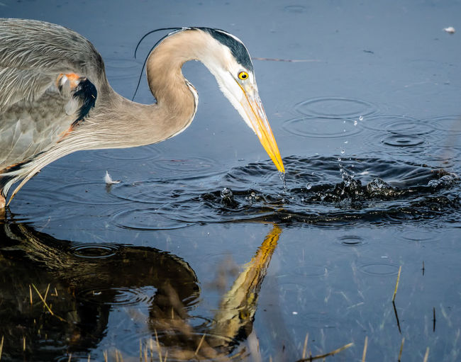 View of a bird drinking water