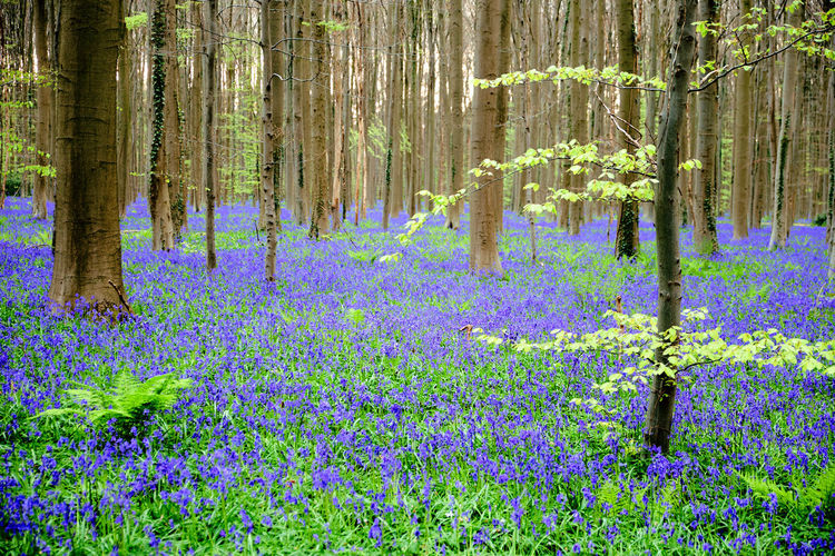 Bois de Hal / Hallerbos in spring - Abundance Beauty In Nature Bluebells Bois De Hal Day Flower Forest Fragility Freshness Growth Hallerbos Nature No People Outdoors Plant Purple Scenics Spring Tranquil Scene Tranquility Tree Tree Trunk WoodLand