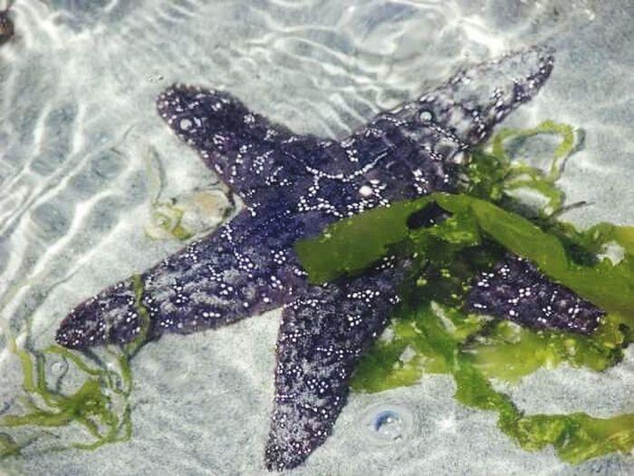 Starfish  Seawweed Nanaimo BC Pipers Oceanlife Vancouver Island Purple