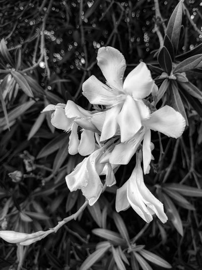 white oleander in bnw (testing editing and filters) Nature Close-up Beauty In Nature Outdoors EyeEm Nature Lover Beauty In Nature Flowers,Plants & Garden White Oleander Bnw_collection White Flowers Fine Art Photography Eyeem Black And White Photography Black And White Photography No Edit No Fun Eyeem Plants Taking Photos