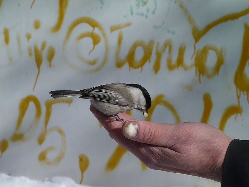 Animal Themes Animal Wildlife Animals In The Wild Bird Chickadee Close-up Day Flying Holding Human Body Part Human Hand Nature One Animal One Person Outdoors People Real People Spread Wings Tomtit