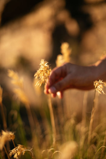 Midsection of person holding wheat on field
