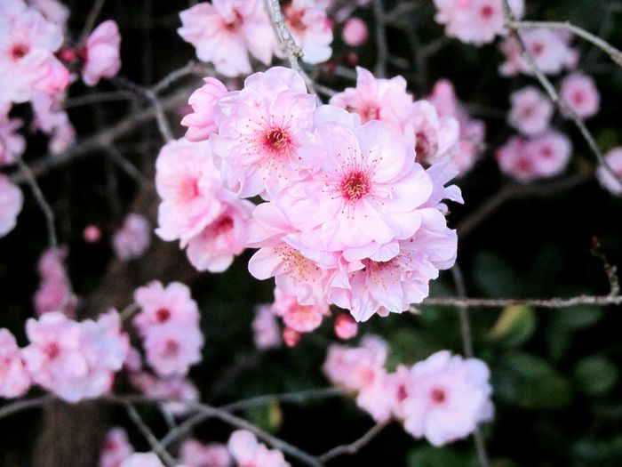 In The Pink ~ South Africa Cape Province Close-up Springtime Color Pink Petals🌸 Stamen Of The Flower Macro Photography EyeEm Flower Flower Head Flower Tree Pink Color Petal Close-up Blooming In Bloom Blossom Botany Wild Rose Plant Life
