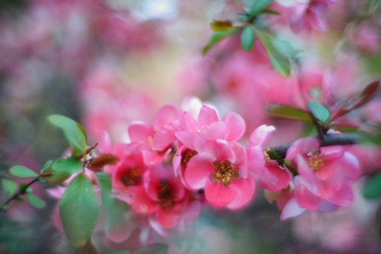 ボケで Bokeh て (´ー`) Japanese Quince Bokeh Photography EyeEm Tokyo MeetUp 12 Flowers Flower Flowerporn Flower Collection EyeEm Best Shots - Flowers EyeEm Nature Lover Nature Photography Nature Taking Photos Walking Around Nature_collection お写ん歩 Snapshot