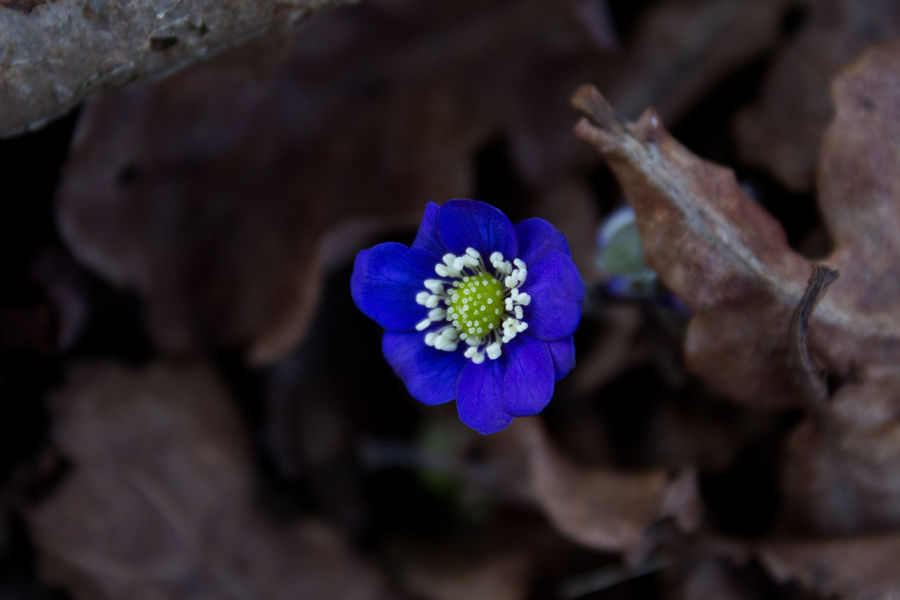 Sweden Anemone Flower Beauty In Nature Blue Botany Close-up Day Flower Flower Head Focus On Foreground Fragility Freshness Growth Inflorescence Leaves Nature No People Outdoors Petal Plant Purple Spring Vulnerability
