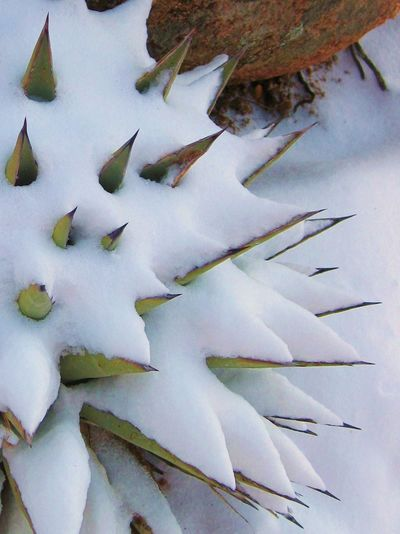 Snowfall on agave in the high desert. Plants Textured  Agave Agave Plant Beauty In Nature Close-up Cold Temperature Leaf Nature No People Outdoors Sharp Snow Winter Perspectives On Nature Shades Of Winter