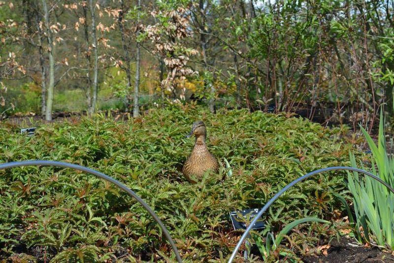 Duck Harlow Carr Gardens