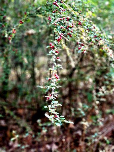 Beeren im Wald