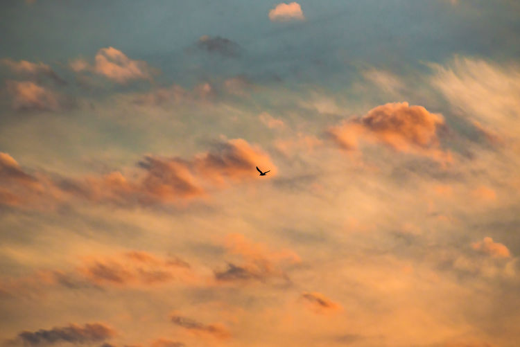 Cloud Orange Orange Sky Tranquility Animal Themes Animals In The Wild Beauty In Nature Bird Cloud - Sky Day Flying Low Angle View Mid-air Nature No People One Animal Orange Color Outdoors Sky Sunset