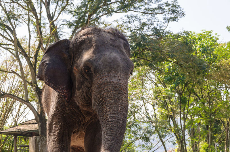 Asian elephant in Malaysian National Zoo, close up African Elephant Animal Animal Trunk Day Elephant Indian Elephant Large Low Angle View Nature No People One Animal Outdoors Portrait Sky Travel Travel Destinations Tree Tusk Wildlife Zoo Zoo Animals  ZOO-PHOTO